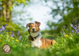 Katrina Wilson Dog Photographer - Border Collie Bluebells