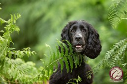 Katrina Wilson Dog Photographer - Cocker Spaniel_