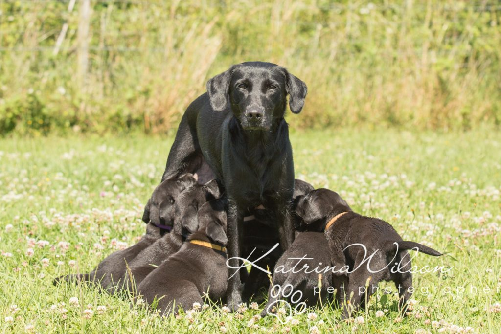 Labrador Puppy Photo Shoot -2