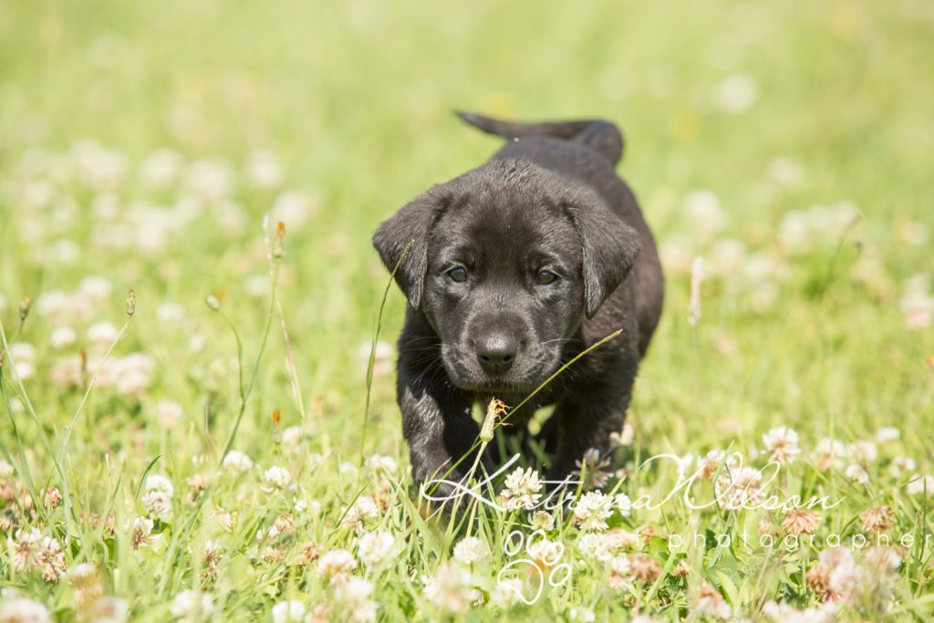 Labrador Puppy Photo Shoot -7