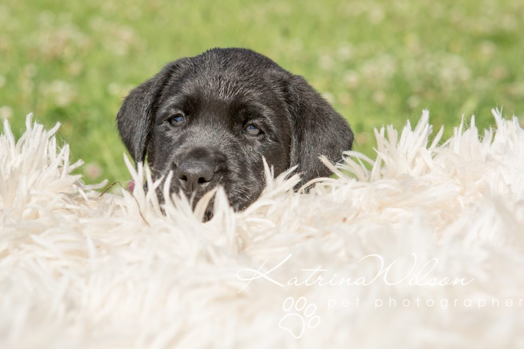 Labrador Puppy Photo Shoot -8