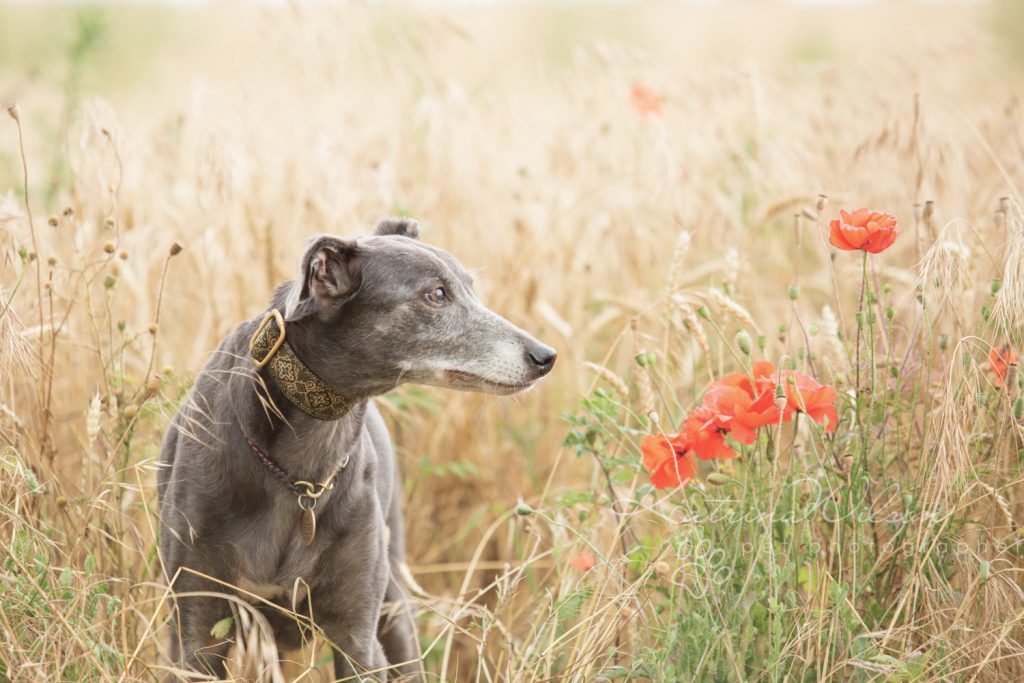 Whippet - Dog photography Bedfordshire -1-3