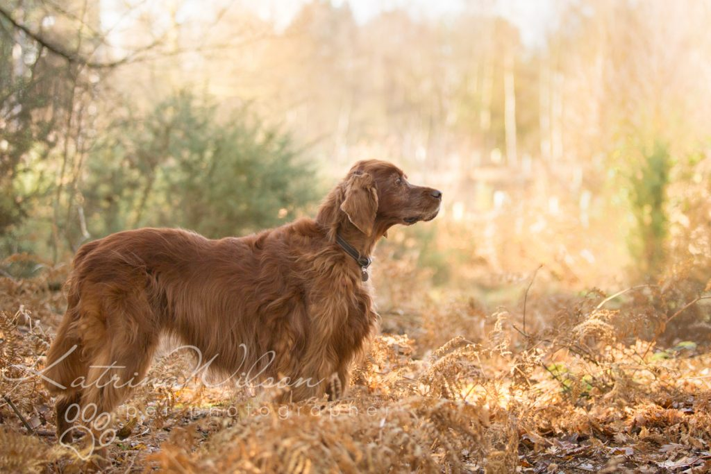 Red Setter and Pointer Autumn Sessions - Dog Photographer Bedfordshire