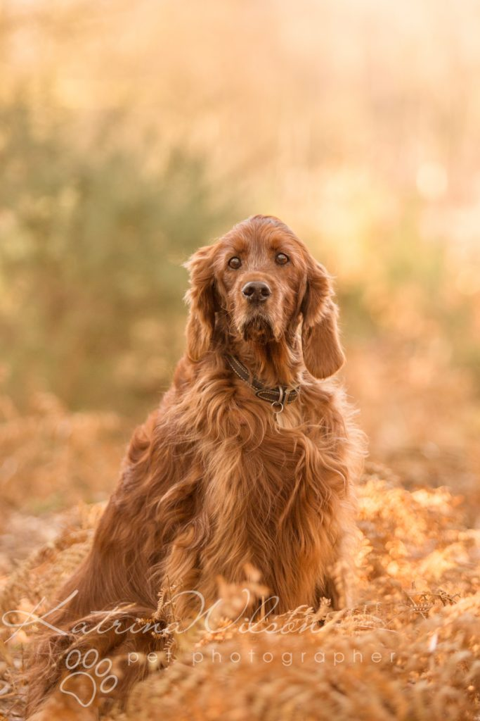 Red Setter and Pointer Autumn Sessions - Dog Photographer Bedfordshire-3