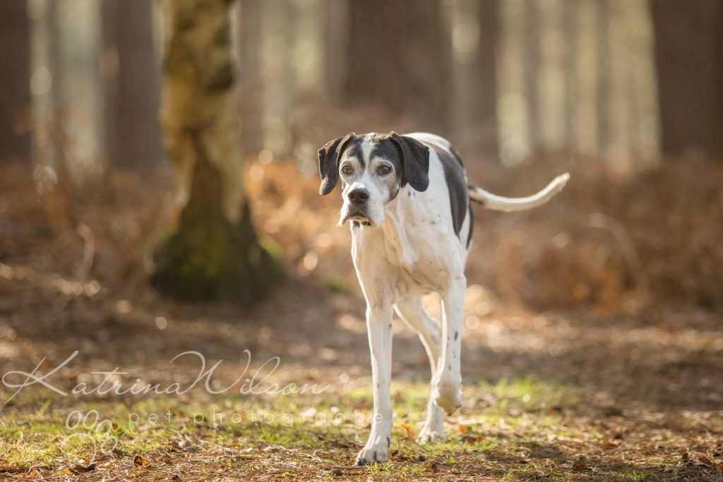 Red Setter and Pointer Autumn Sessions - Dog Photographer Bedfordshire-5