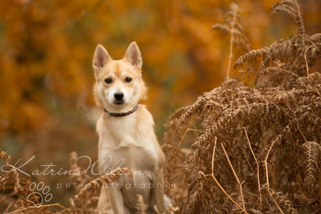 Akita Autumn Photo Session - Dog Photographer Bedfordshire-7
