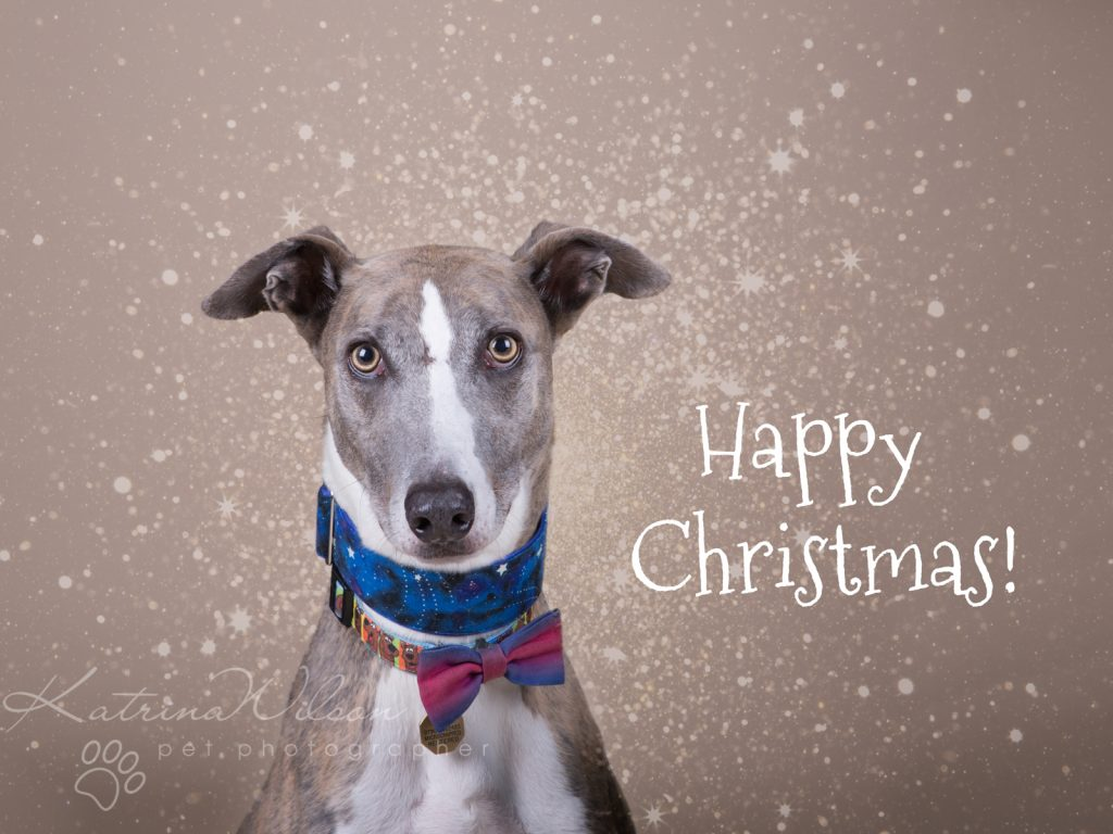 Christmas Dogs - Dog photographer Bedfordshire-2