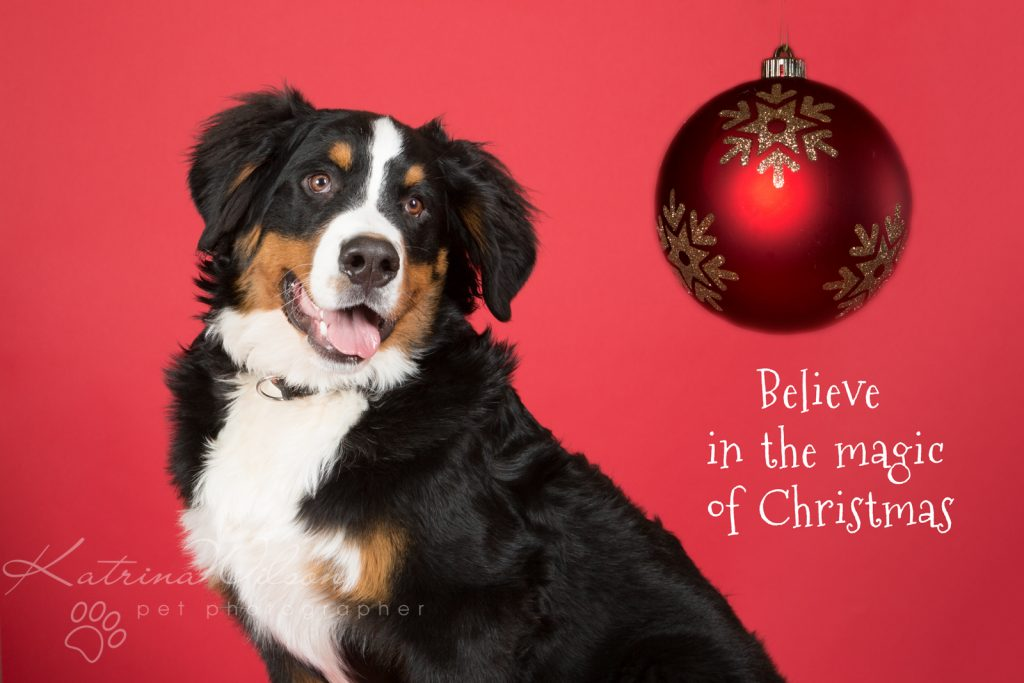 Christmas Dogs - Dog photographer Bedfordshire-4