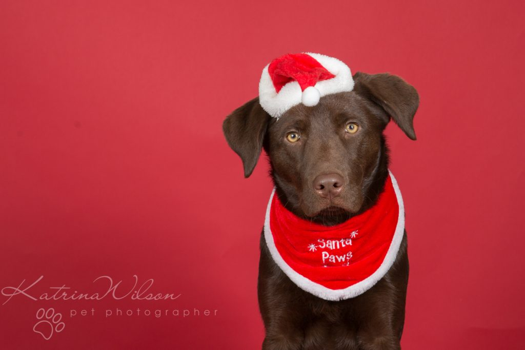 Christmas Dogs - Dog photographer Bedfordshire-5
