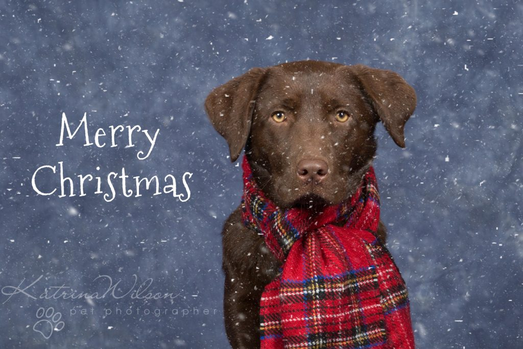 Christmas Dogs - Dog photographer Bedfordshire-7