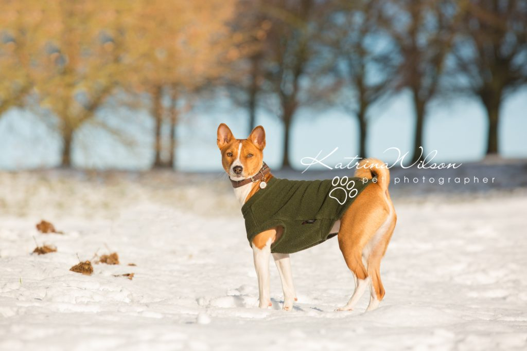 Basenji Border Terrier Pet Photo Session - Dog Photographer Bedfordshire_