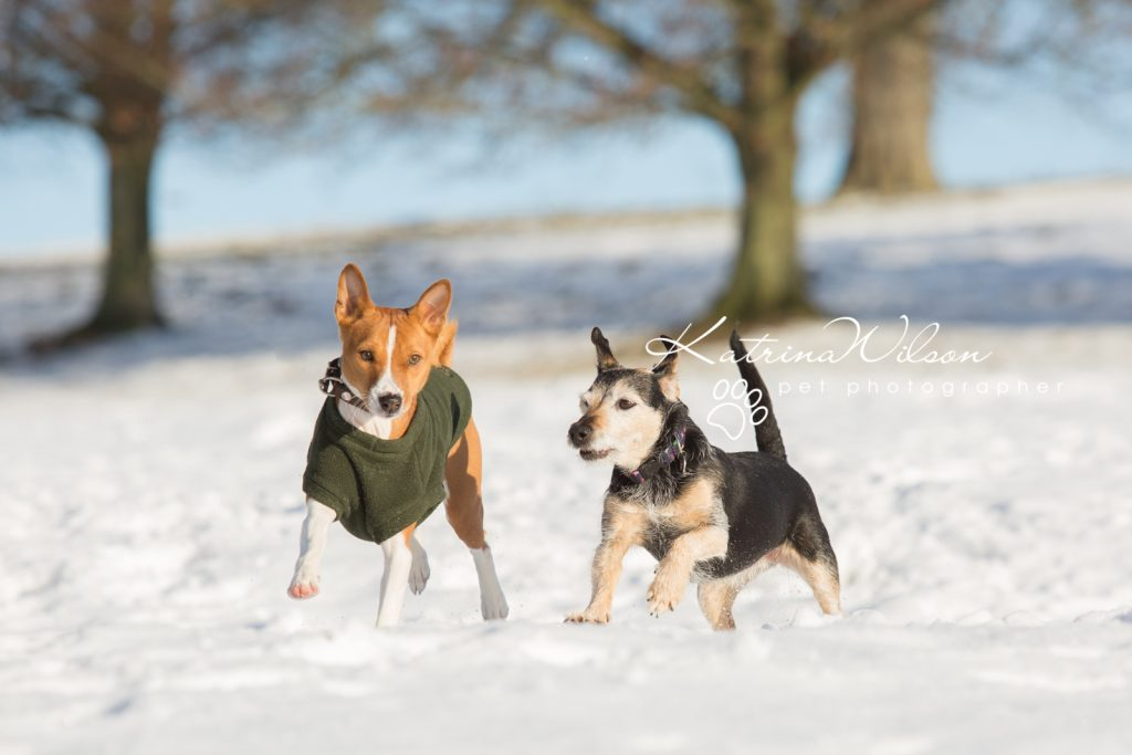 Basenji Border Terrier Pet Photo Session - Dog Photographer Bedfordshire_-2