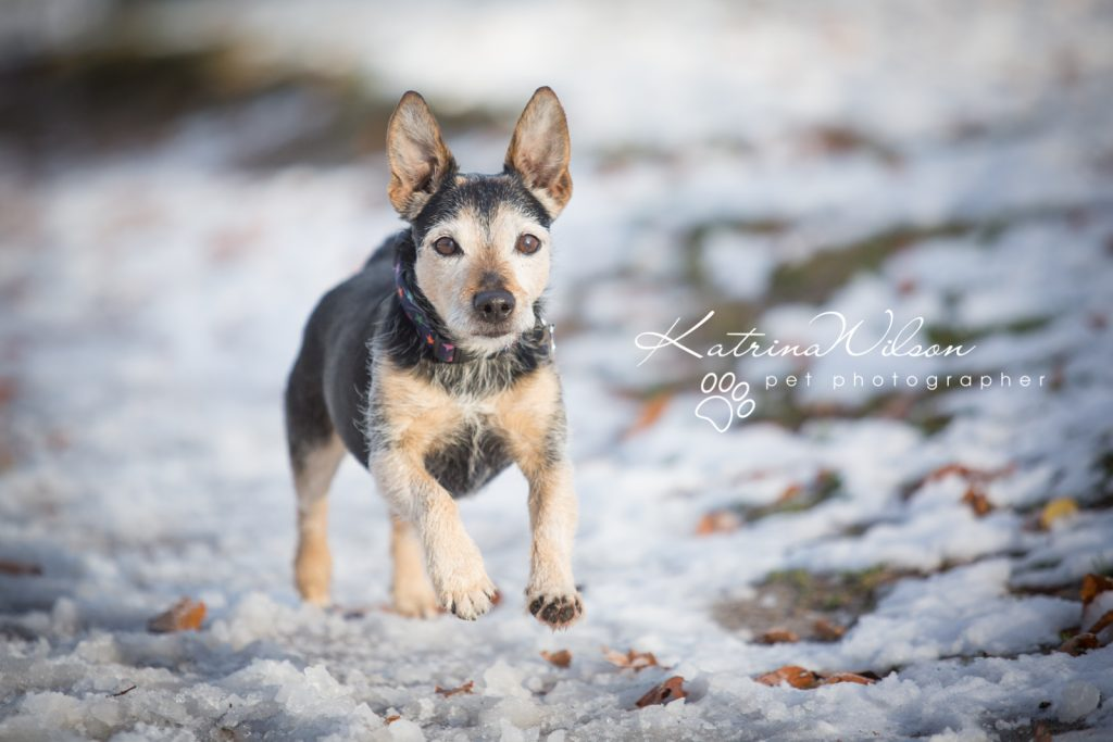 Basenji Border Terrier Pet Photo Session - Dog Photographer Bedfordshire_-6
