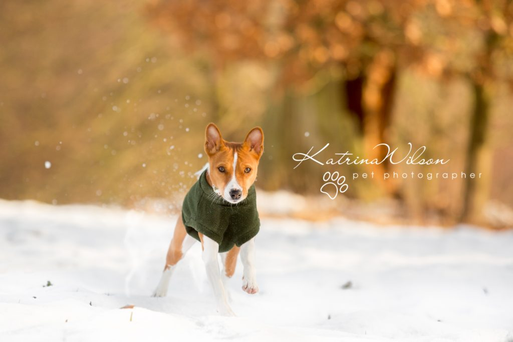 Basenji Border Terrier Pet Photo Session - Dog Photographer Bedfordshire_-8
