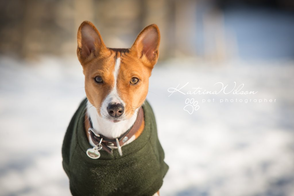 Basenji Border Terrier Pet Photo Session - Dog Photographer Bedfordshire_-9