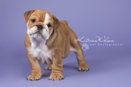 Cute Bulldog Puppy - Pet Photo Dog Photographer Bedfordshire-1