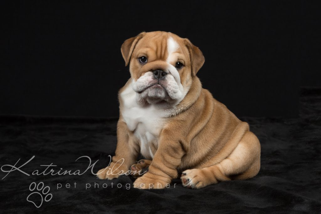 Cute Bulldog Puppy - Pet Photo Dog Photographer Bedfordshire-1-2