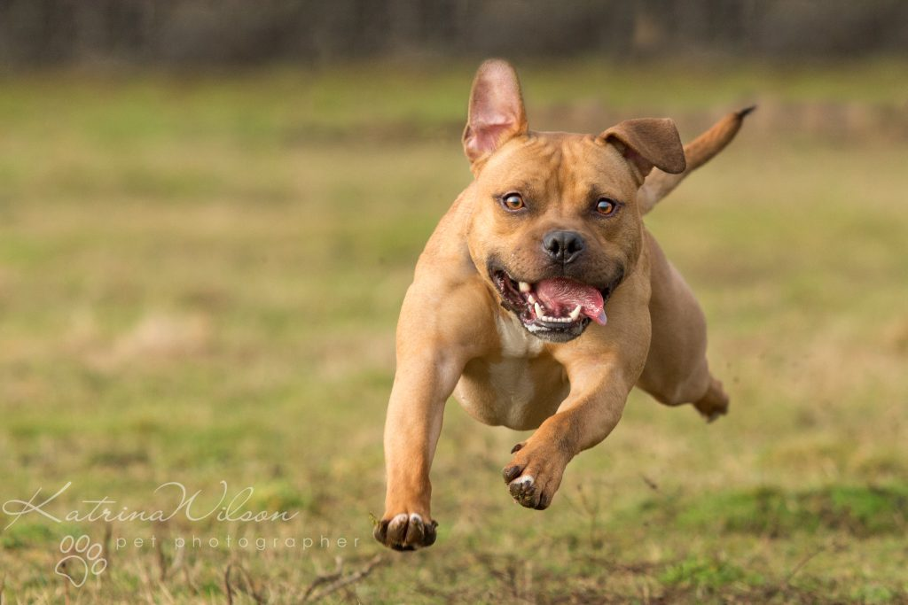 Top 100 Dog Breeds - Dog Photographer Bedfordshire_-8