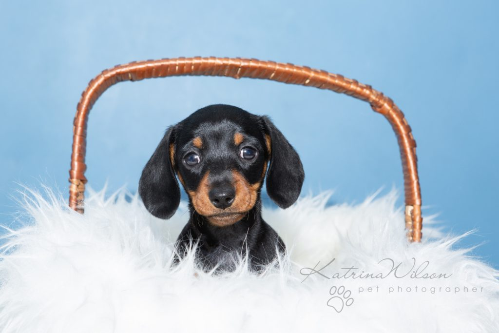 Smooth Haired Mini Dachshund - Bedfordshire Dog Photographer