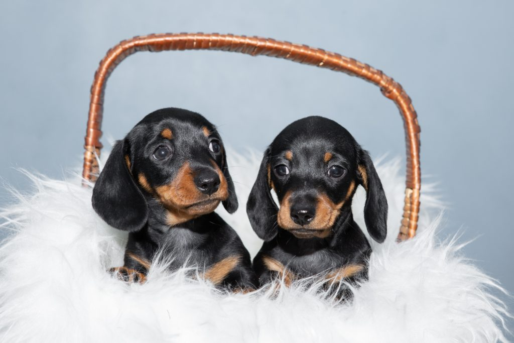 Smooth Haired Mini Dachshund - Bedfordshire Dog Photographer-2