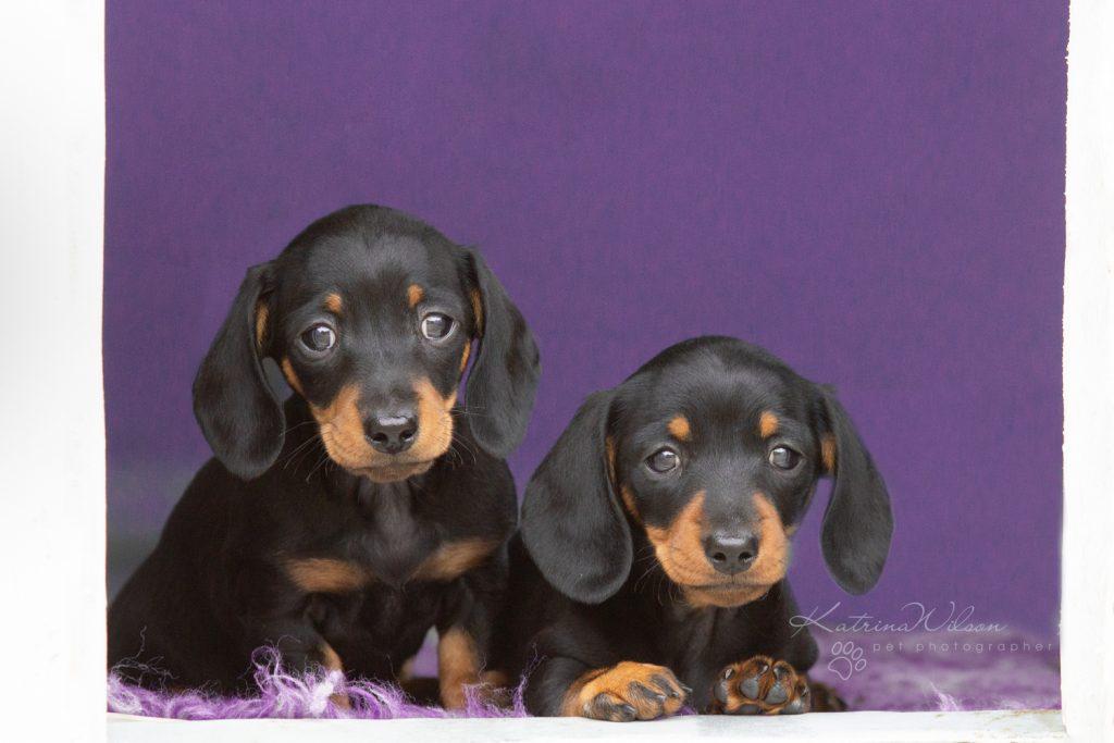Smooth Haired Mini Dachshund - Bedfordshire Dog Photographer-5