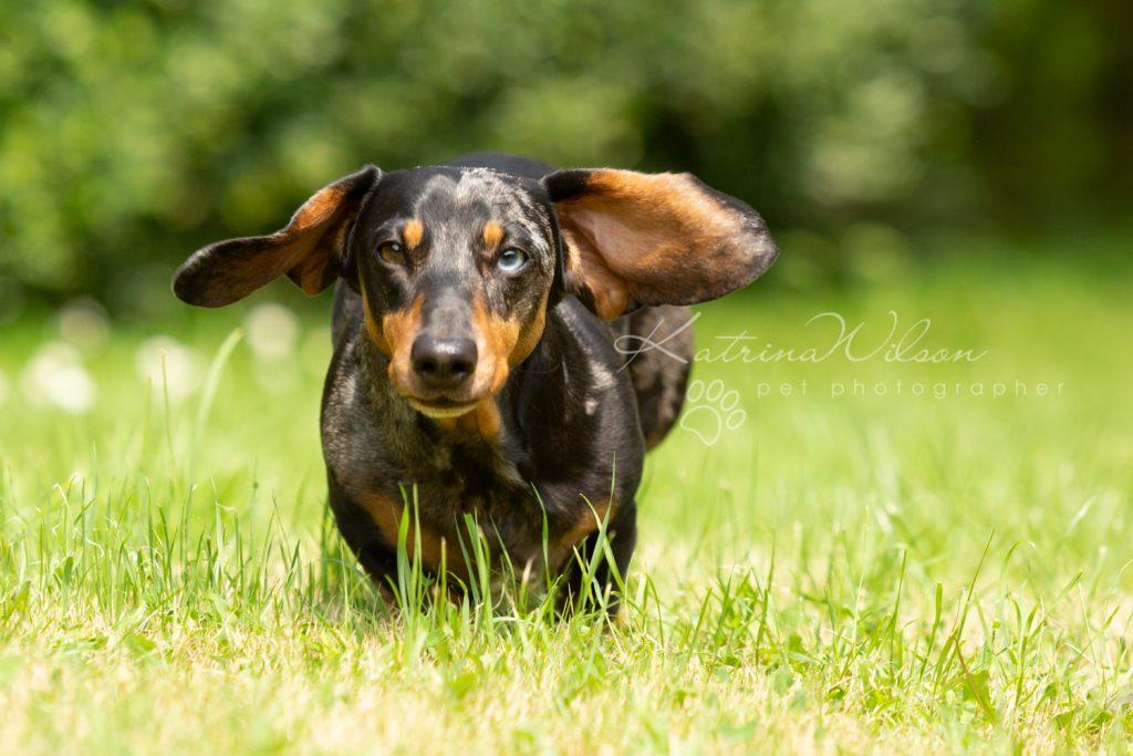 Ziggy - Rescue Dachshund - Dog Photographer Bedfordshire -136