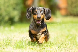 Ziggy - Rescue Dachshund - Dog Photographer Bedfordshire -138
