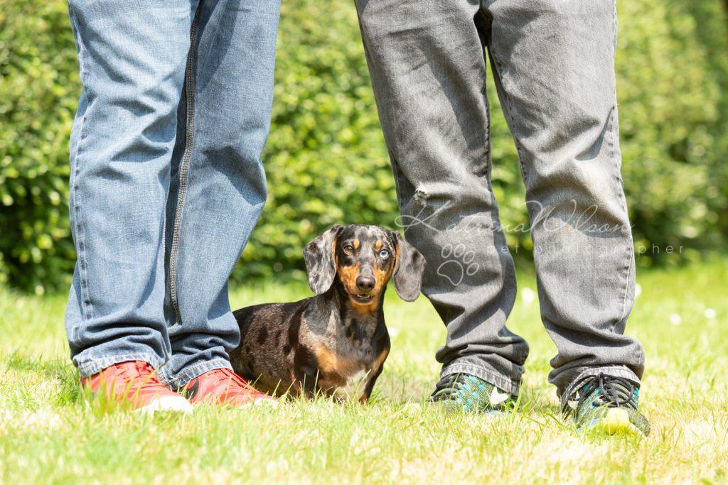 Ziggy - Rescue Dachshund - Dog Photographer Bedfordshire -139