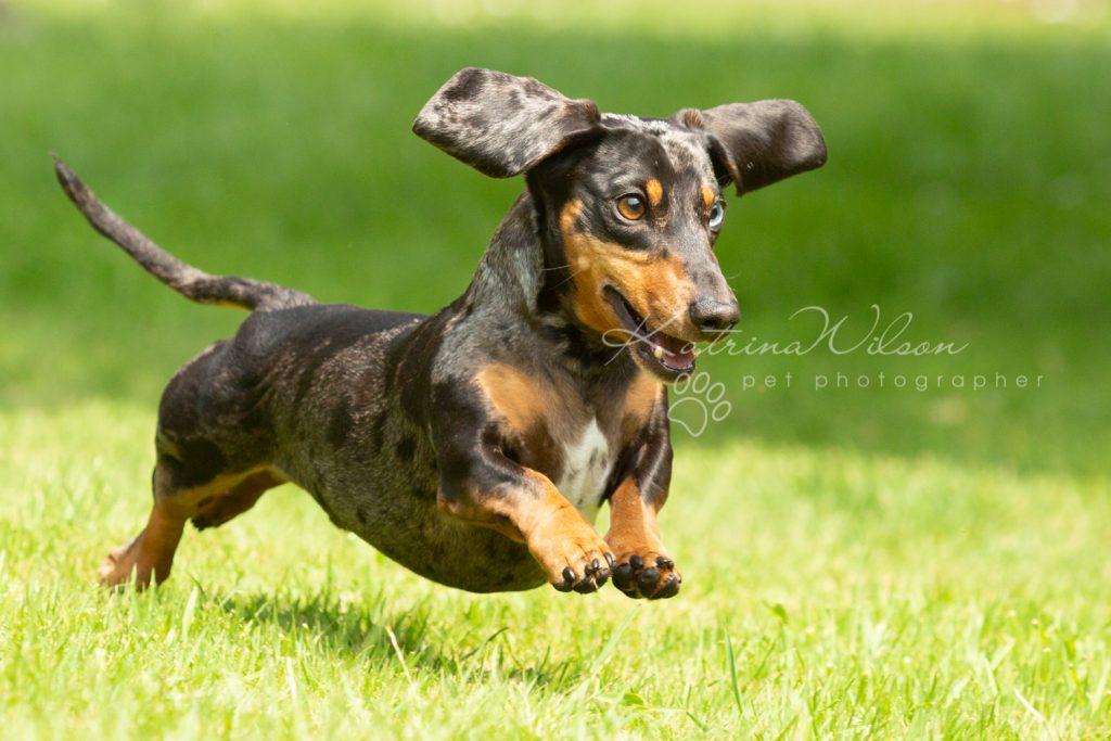 Ziggy - Rescue Dachshund - Dog Photographer Bedfordshire -140