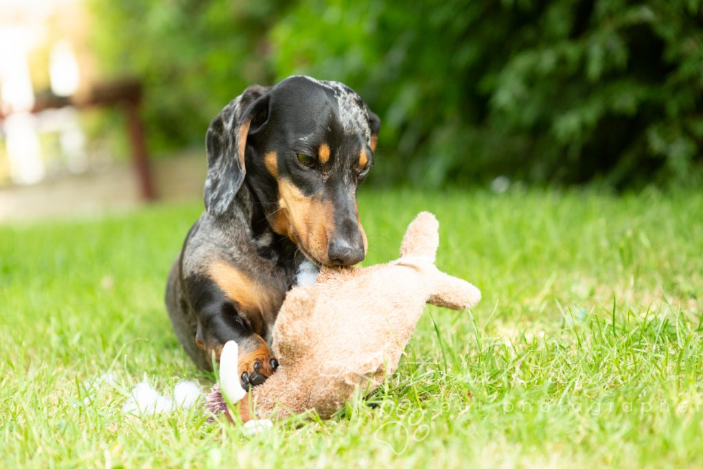 Ziggy - Rescue Dog - Dog Photogapher Bedfordshire-2