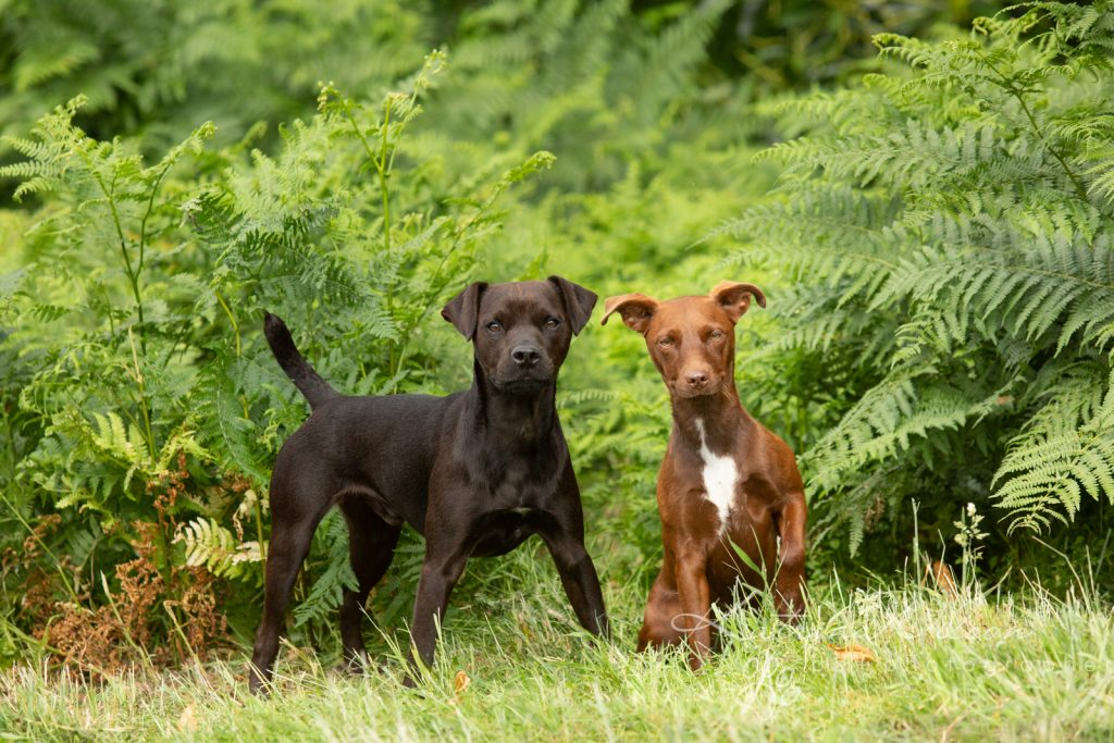 Patterdale Terrier - dog photo session - Katrina Wilson Dog Photographer Bedfordshire