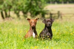 Patterdale Terrier - dog photo session - Katrina Wilson Dog Photographer Bedfordshire-2
