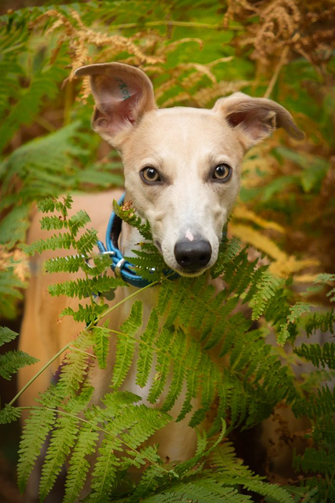 Woodland Whippets - Dog Photography Session - Katrian Wilson Photography_