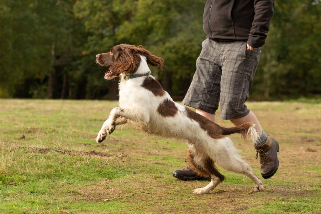Springer Spaniel Photo Session - Katrian Wilson Dog Photographer Bedfordshire-1-3