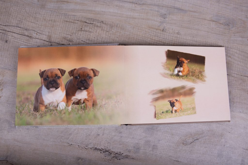 Staffordshire Bull Terrier Puppies - Katrina Wilson Dog Photographer Bedfordshire-53