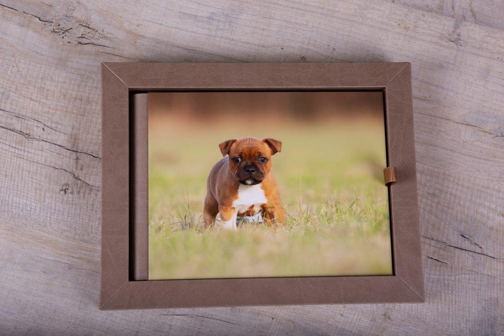 Staffordshire Bull Terrier Puppies - Katrina Wilson Dog Photographer Bedfordshire-62