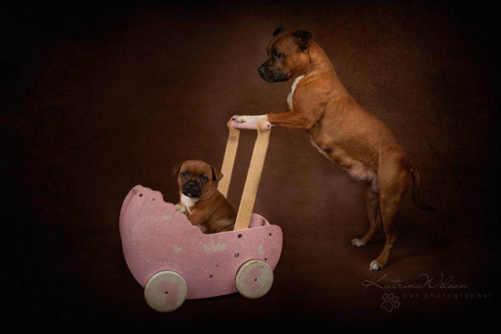 Staffordshire Bull Terrier Puppy Litter - Katrina Wilson Dog Photography Bedfordshire-1
