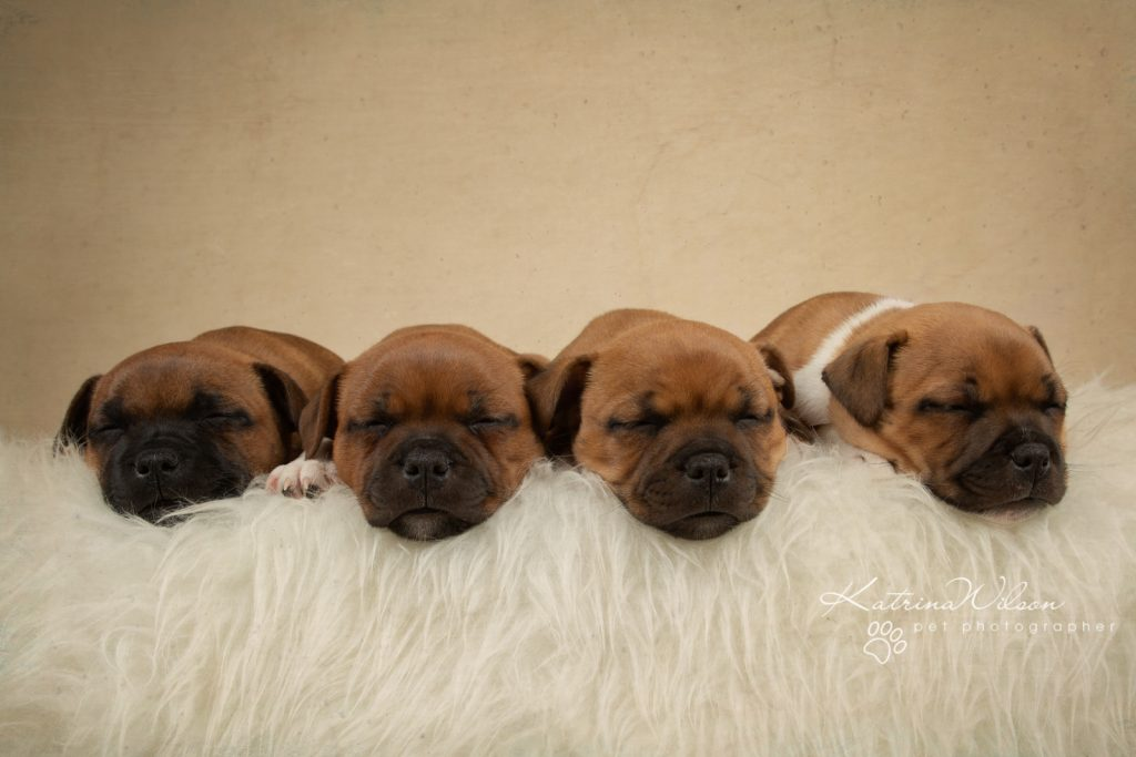 Staffordshire Bull Terrier Puppy Litter - Katrina Wilson Dog Photography Bedfordshire-2-2