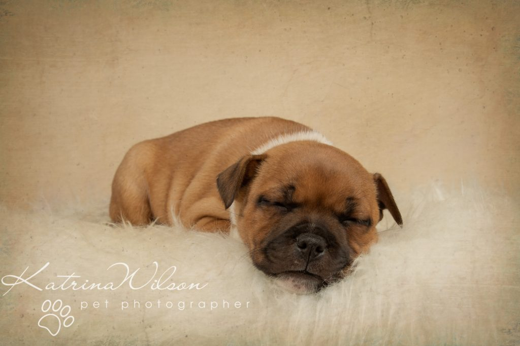 Staffordshire Bull Terrier Puppy Litter - Katrina Wilson Dog Photography Bedfordshire-2-4