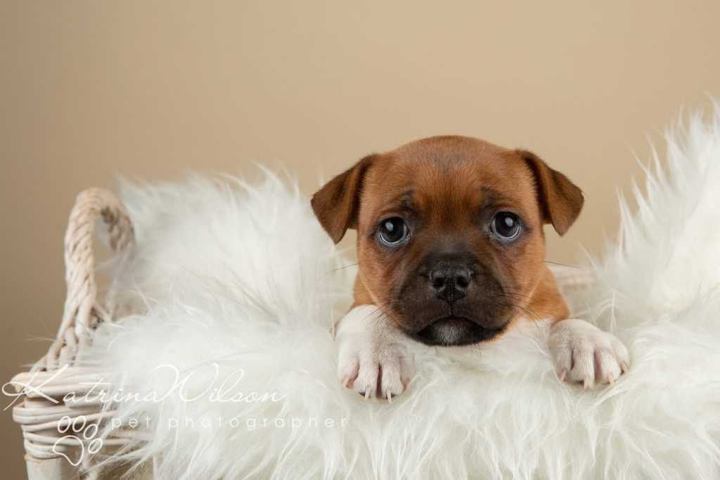 Staffordshire Bull Terrier Puppy Litter - Katrina Wilson Dog Photography Bedfordshire-2-5