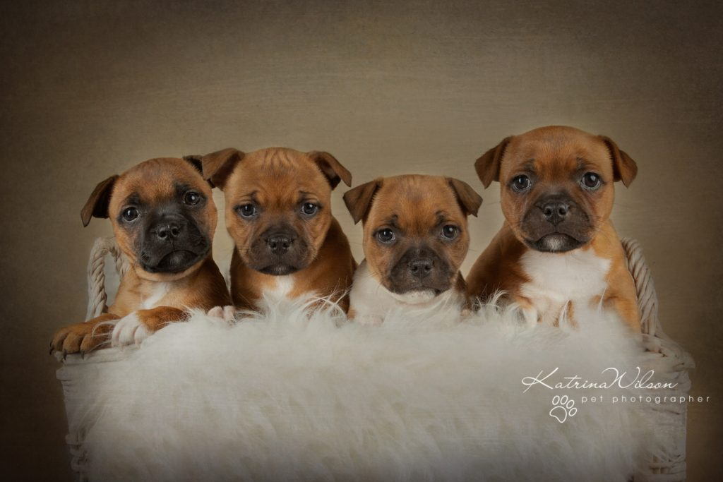 Staffordshire Bull Terrier Puppy Litter - Katrina Wilson Dog Photography Bedfordshire-2-6