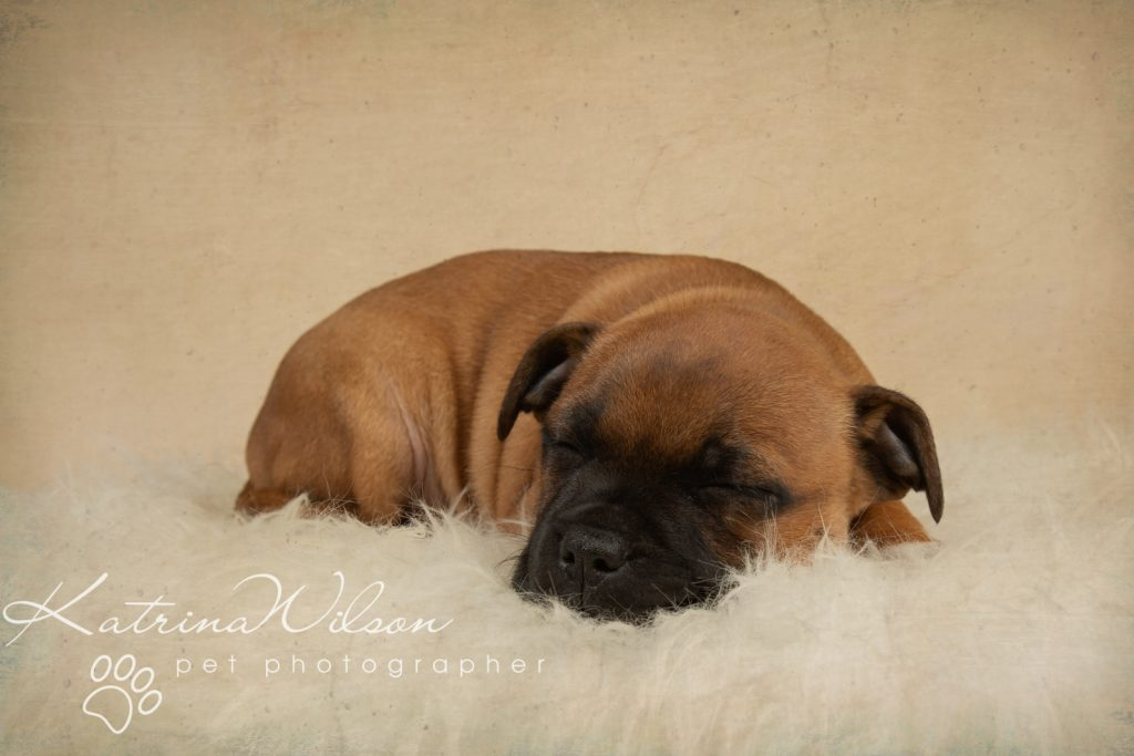 Staffordshire Bull Terrier Puppy Litter - Katrina Wilson Dog Photography Bedfordshire-2-8