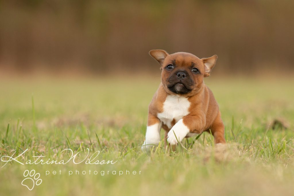 Staffordshire Bull Terrier Puppy Litter - Katrina Wilson Dog Photography Bedfordshire-3-2