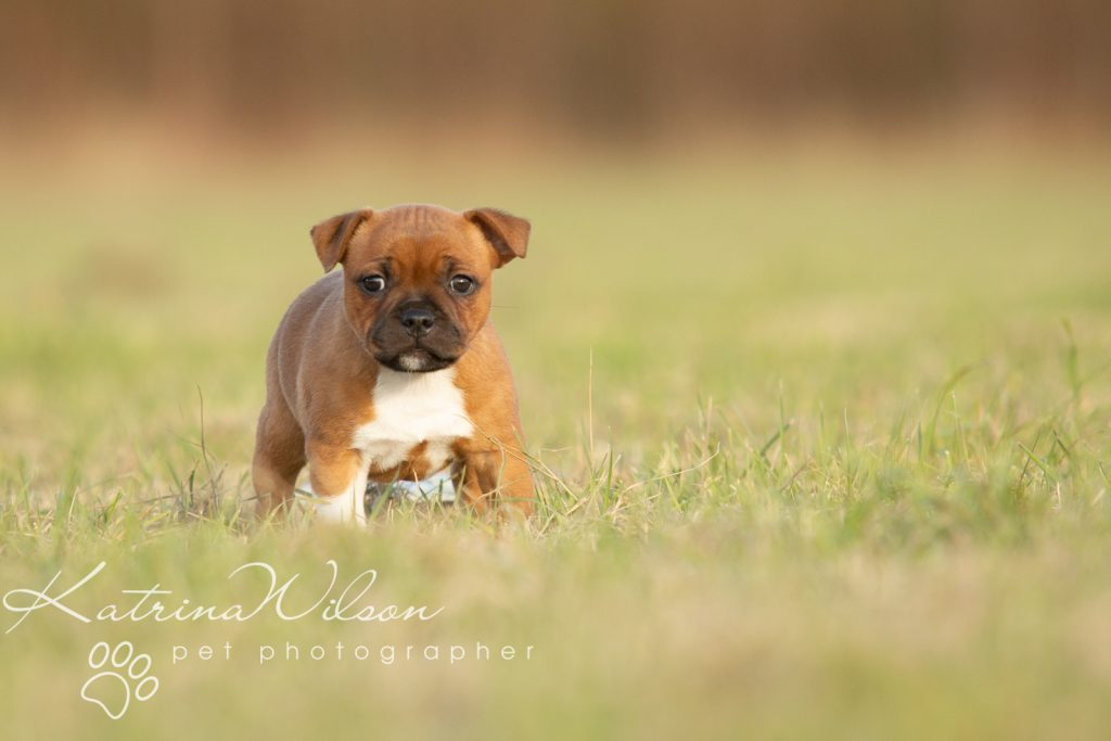 Staffordshire Bull Terrier Puppy Litter - Katrina Wilson Dog Photography Bedfordshire-5-2