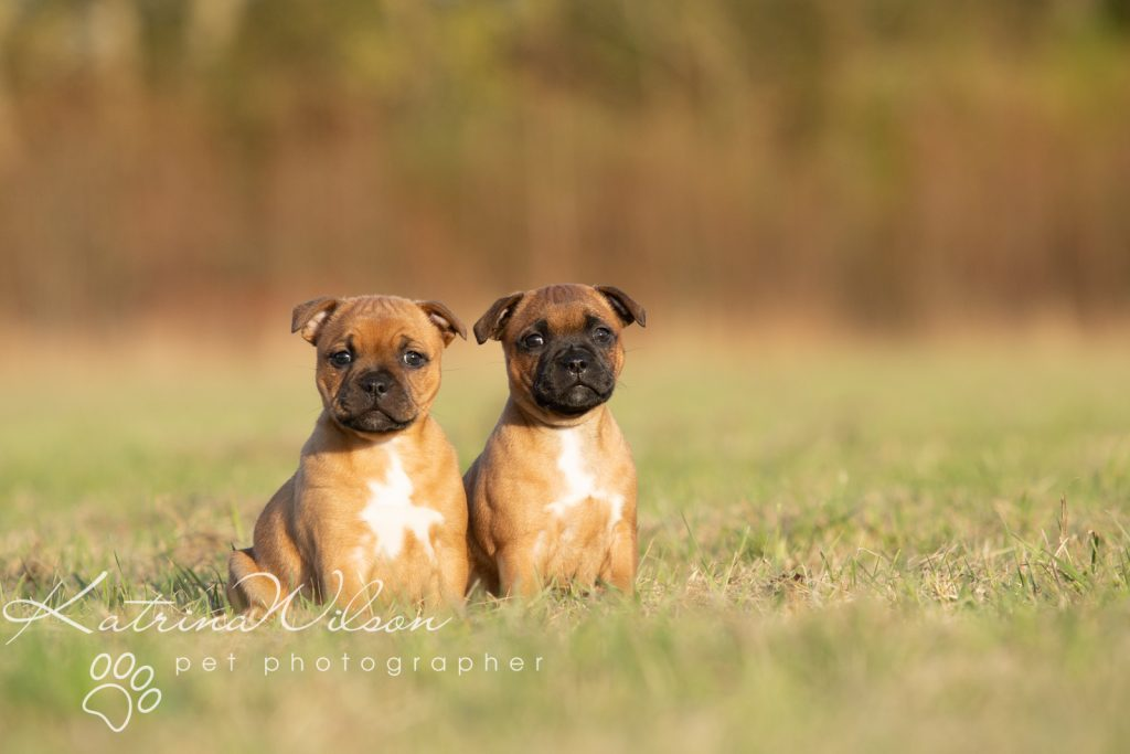 Staffordshire Bull Terrier Puppy Litter - Katrina Wilson Dog Photography Bedfordshire-7