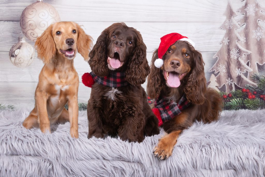 Katrina Wilson Dog Photography Bedfordshire Top 10 Christmas Dogs-10
