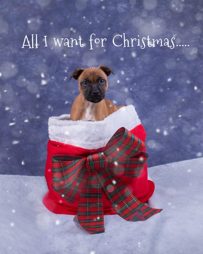Katrina Wilson Dog Photography Bedfordshire Top 10 Christmas Dogs-4