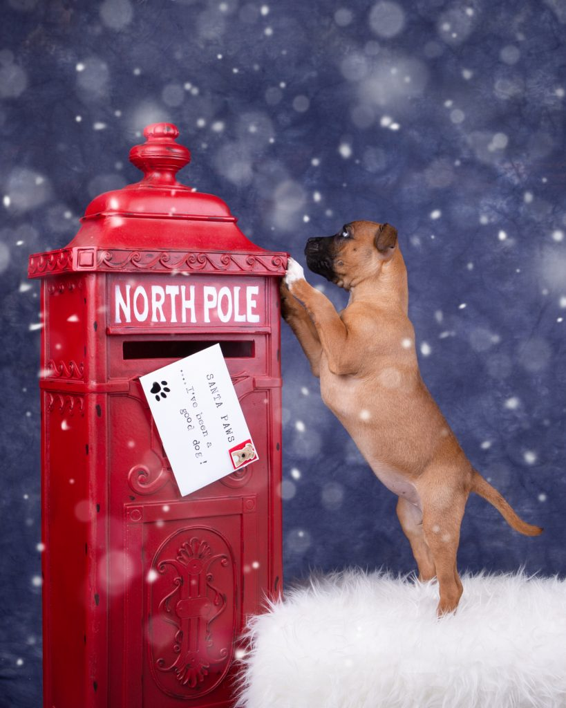 Katrina Wilson Dog Photography Bedfordshire Top 10 Christmas Dogs-5