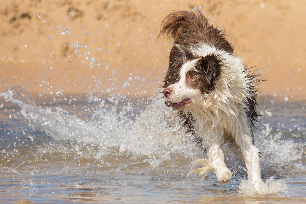 10 things my dog has taught me - Border Collie - Katrina Wilson Dog Photography Bedfordshire-7