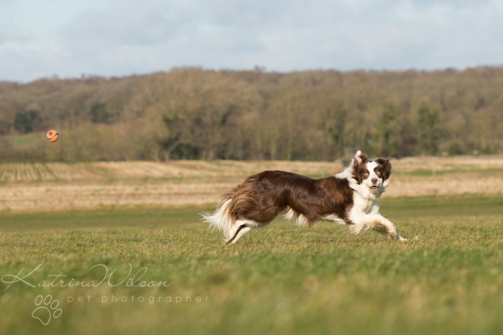 10 things my dog has taught me - Border Collie - Katrina Wilson Dog Photography Bedfordshire-8